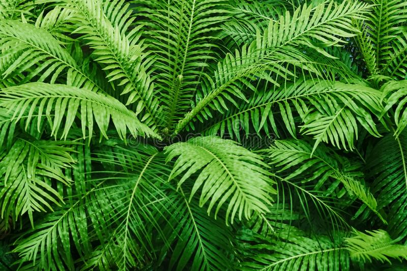 Teste padrão textured da samambaia natural A samambaia verde bonita sae do fundo Fundo tropical decorativo da floresta úmida da p fotografia de stock