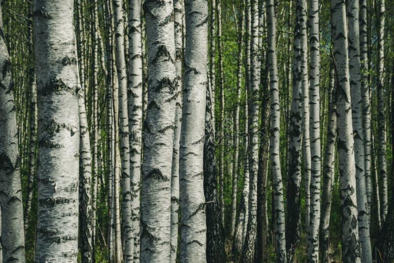 teste padrão textured do fundo do tronco de árvore do vidoeiro imagem de stock