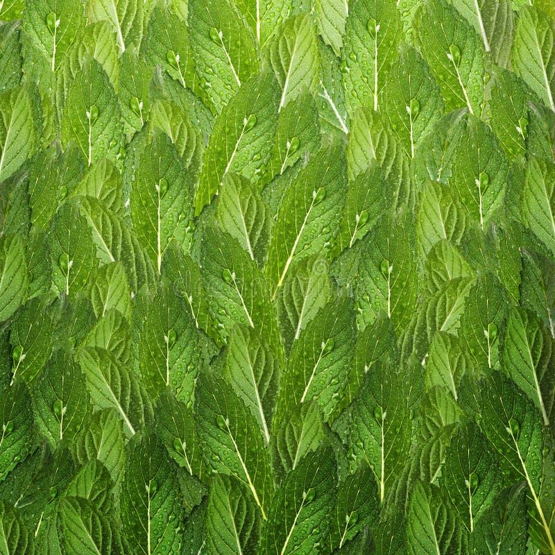 Teste padr?o das folhas de hortel? Hortelã fresca com gotas da água fotografia de stock