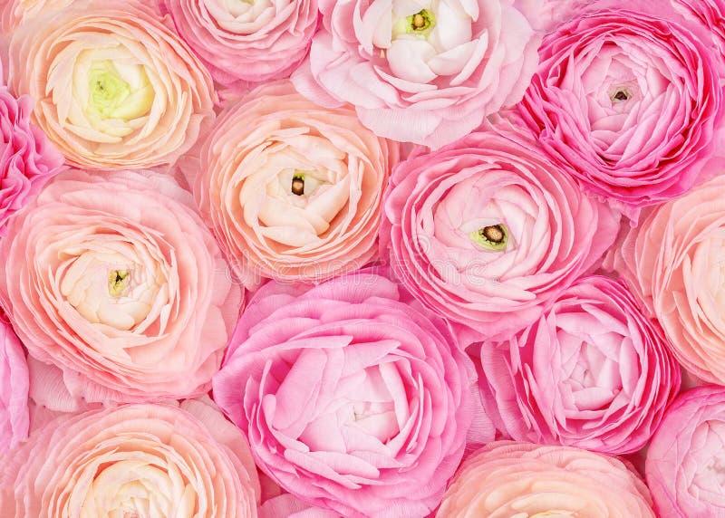 Teste padr?o de flor Fundo textured das flores cor-de-rosa do ran?nculo Papel de parede floral do ver?o imagens de stock royalty free