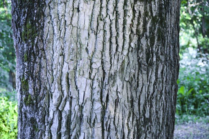 Teste padr?o de madeira velho do fundo da textura da ?rvore fotografia de stock