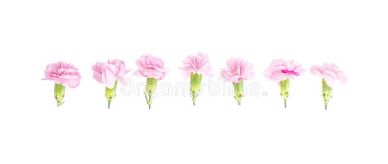 Teste rosa dei garofani su fondo bianco immagine stock