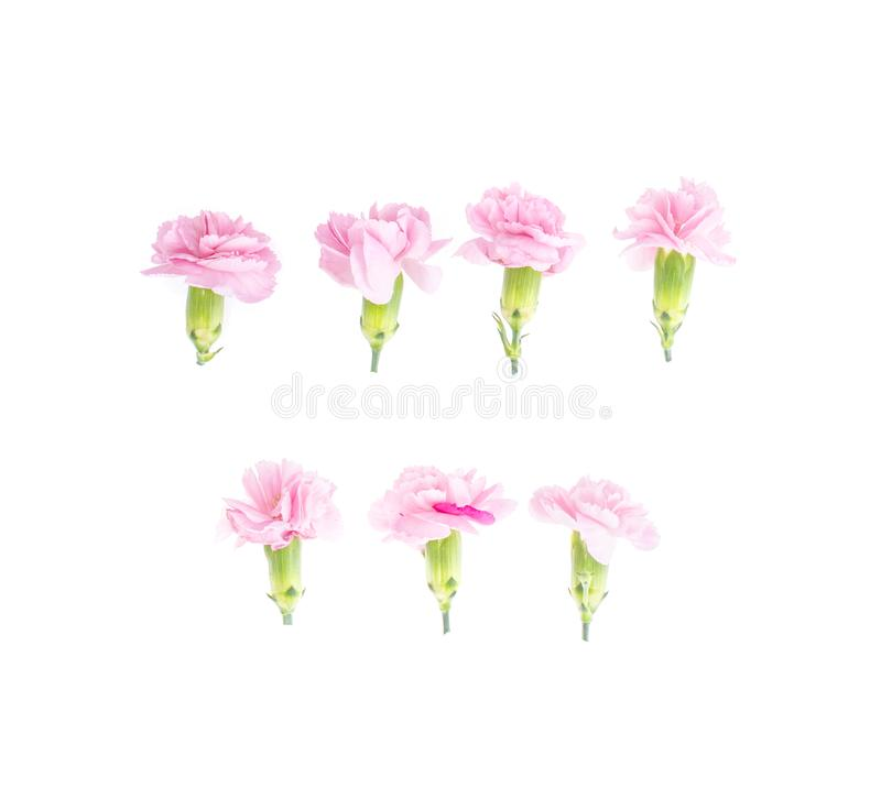 Teste rosa dei garofani su fondo bianco fotografia stock