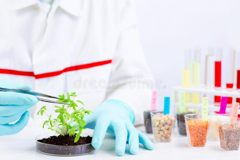 Testing gmo products. Environmental sciences. Scientist testing gmo plant with tongs in laboratory royalty free stock images