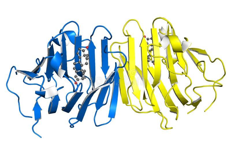 Testosteron-bindende globulineproteïne stock illustratie