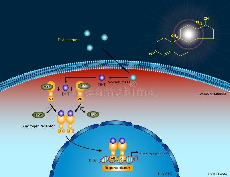 Testosteron signalerende weg vector illustratie