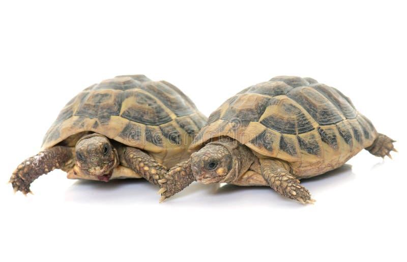 Testudo hermanni tortoise royalty free stock photos