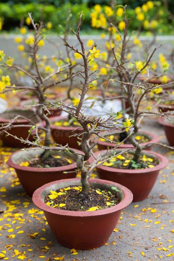 Tet blomningträd som symbolerna av det mån- nya året semestrar royaltyfri fotografi