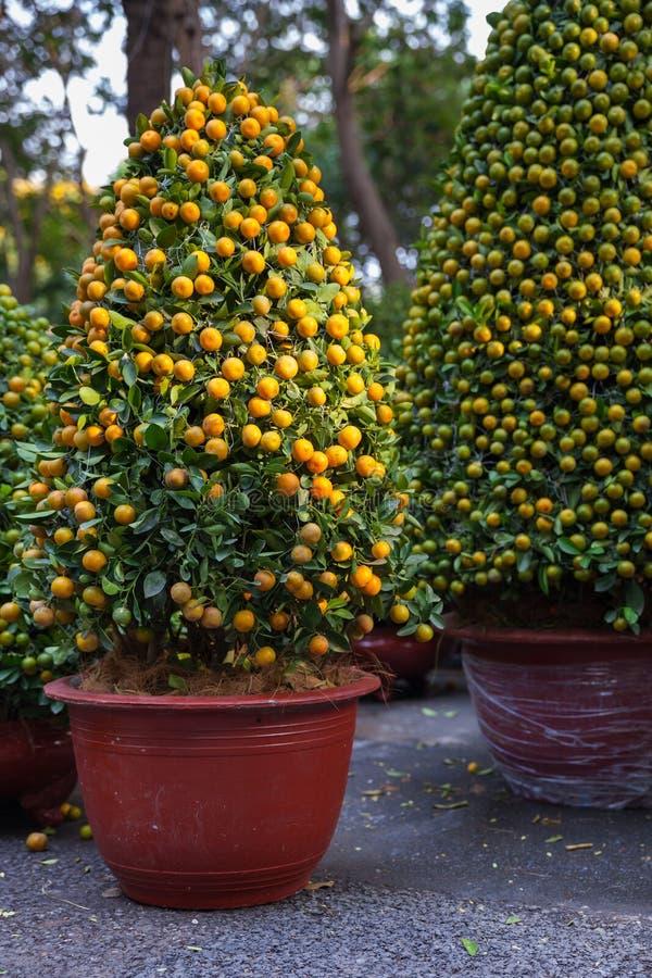Tet Kumquatträd som symbolerna av det mån- nya året semestrar arkivfoto