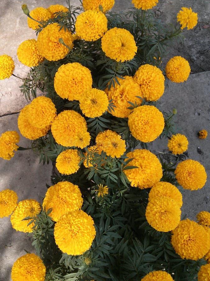 Tet nella campagna non può mancanza di fiori del tagete immagini stock libere da diritti