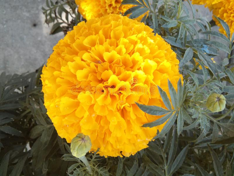 Tet Vietnam del fiore immagine stock