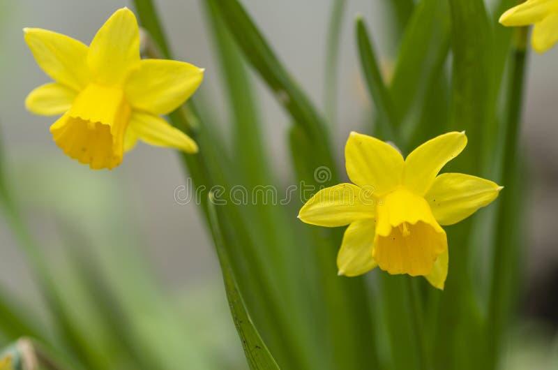 Tete Tete Daffodil 1 foto de stock royalty free