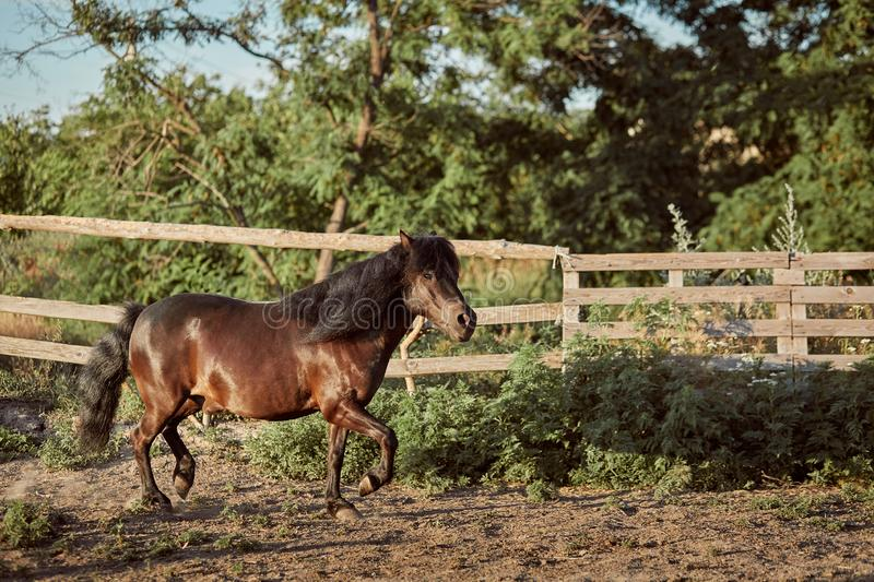 Tethered brown pony running in the paddock. Animals on the ranch stock images