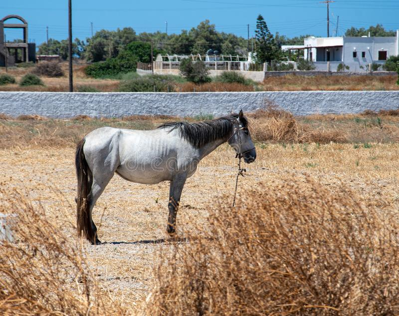 Tethered white horse. Agios Georgios, Greece - July 18 2019:   A white horse tethered in a field along the road between Agios Georgios and Perissa royalty free stock images