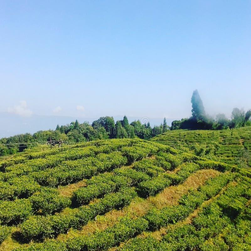 Teträdgård Darjeeling royaltyfri foto