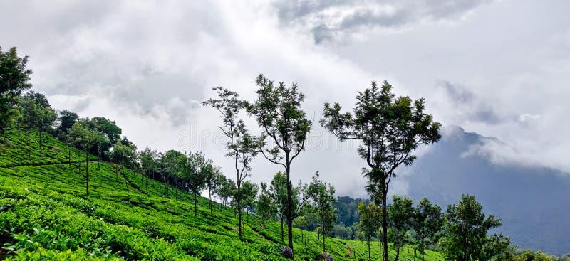 Teträdgård på kullarna av Coonoor under de regniga molnen av monsun royaltyfria bilder