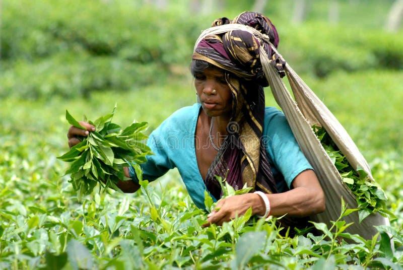 Teträdgård på Sylhet, Bangladesh royaltyfria bilder