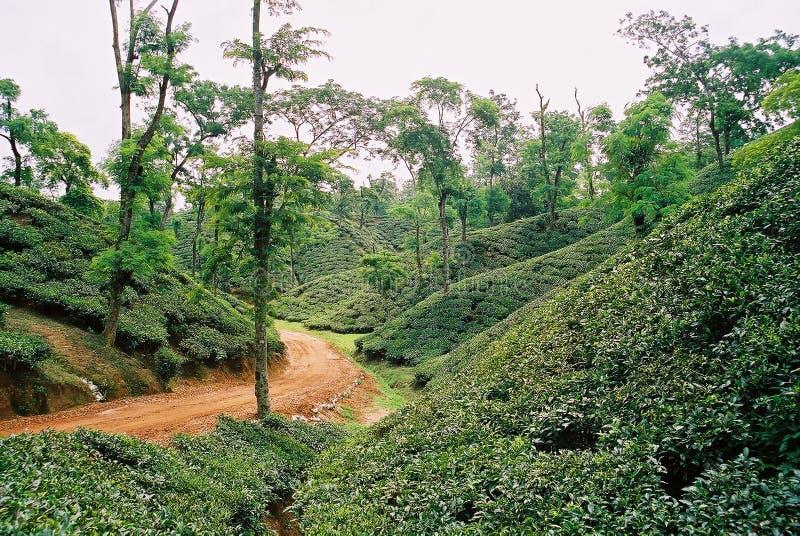 Teträdgård på Sylhet, Bangladesh royaltyfri foto