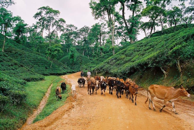 Teträdgård på Sylhet, Bangladesh arkivfoto
