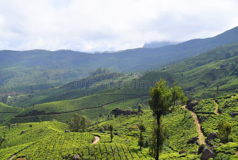 Teträdgårdar, gröna kullar och blå himmel - frodigt grönt naturligt landskap i Munnar, Idukki, Kerala, Indien arkivfoto