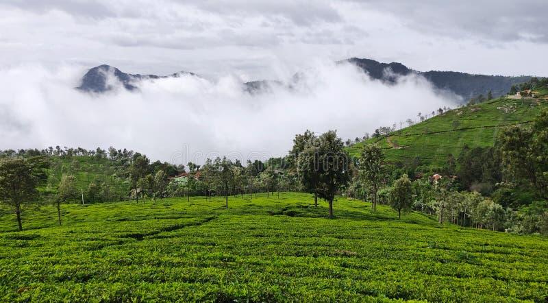 Teträdgårdar på kullarna av Coonoor under de regniga molnen av monsun arkivfoto