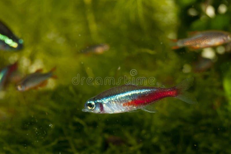 Tetra fisk för neon royaltyfri foto
