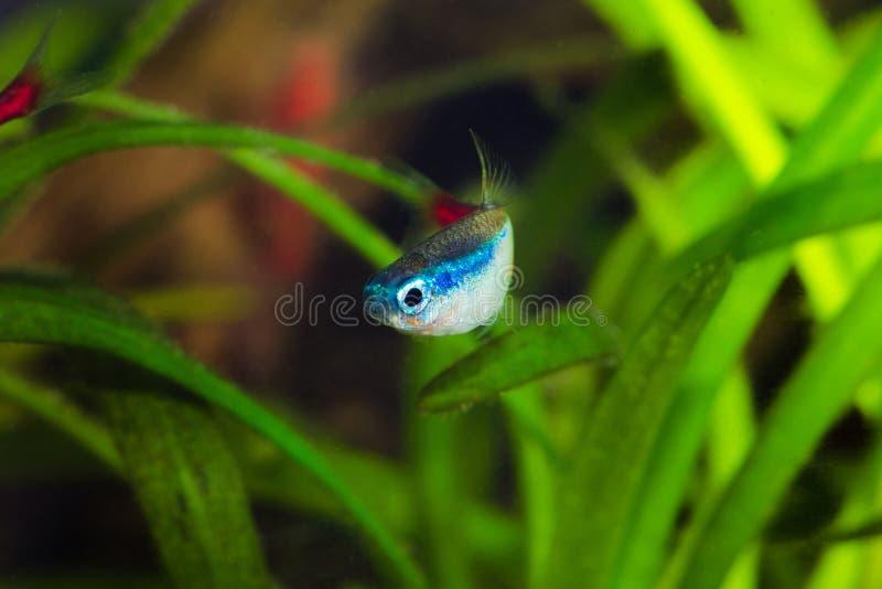 Tetra fisk för neon i akvarium royaltyfria foton