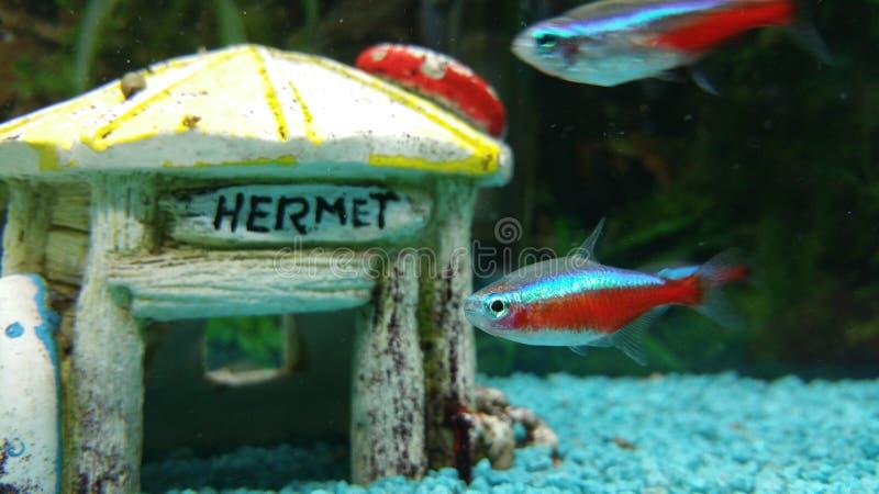 Tetra fiskneon arkivfoton