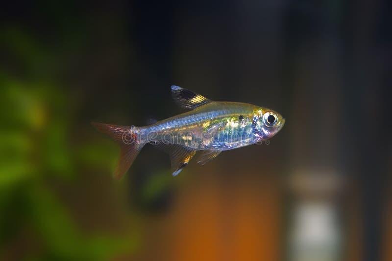 Tetra pescados tropicales de la radiografía imágenes de archivo libres de regalías