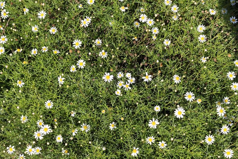 Natural millefleur pattern. Background of green leaves with white flowers, Paris daisy (Argyranthemum frutescens) royalty free stock photos