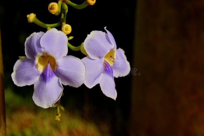 Tetragonolobus do Psophocarpus fotos de stock