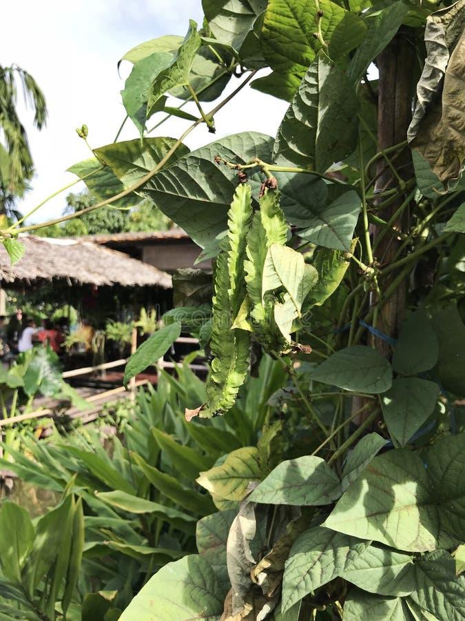 Tetragonolobus do Psophocarpus ou feijão voado ou feijão de Goa ou feijão Quatro-angular ou feijão de Manila ou feijão do dragão imagens de stock