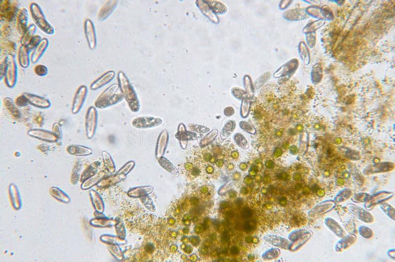 Tetrahymena是单细胞的有睫毛原生动物类  库存图片