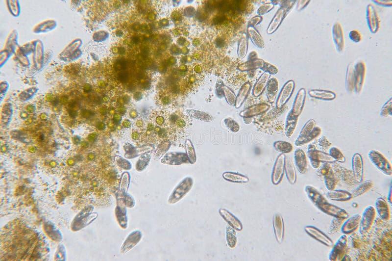 Tetrahymena ist eine Klasse der einzelligen ciliated Protozoon lizenzfreie stockfotos
