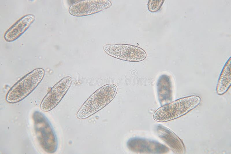 Tetrahymena ist eine Klasse der einzelligen ciliated Protozoon stockbild