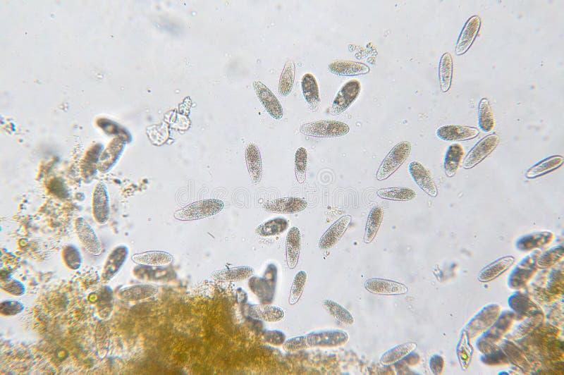 Tetrahymena ist eine Klasse der einzelligen ciliated Protozoon lizenzfreie stockbilder