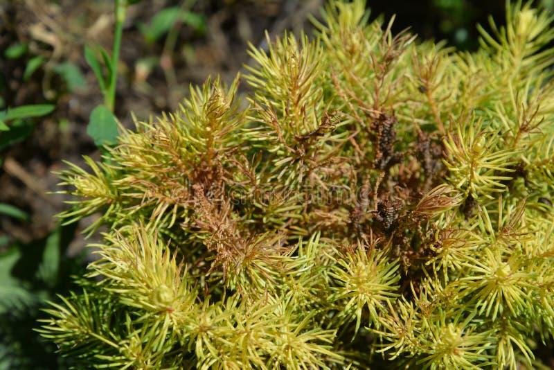 Tetranychus urticae pospolici imiona zawierają czerwonego pająka lądzieniec i dostrzegającej pająk lądzieniec na Picea glauca var obraz stock