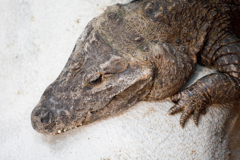 Tetraspis nains d'Osteolaemus de crocodile images libres de droits