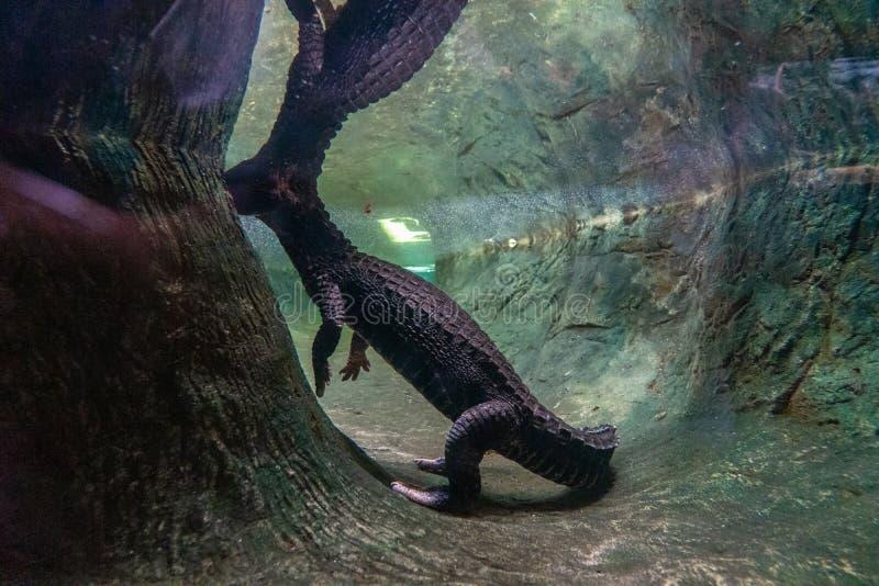 Tetraspis nains d'Osteolaemus de crocodile dans le zoo Barcelone photo libre de droits