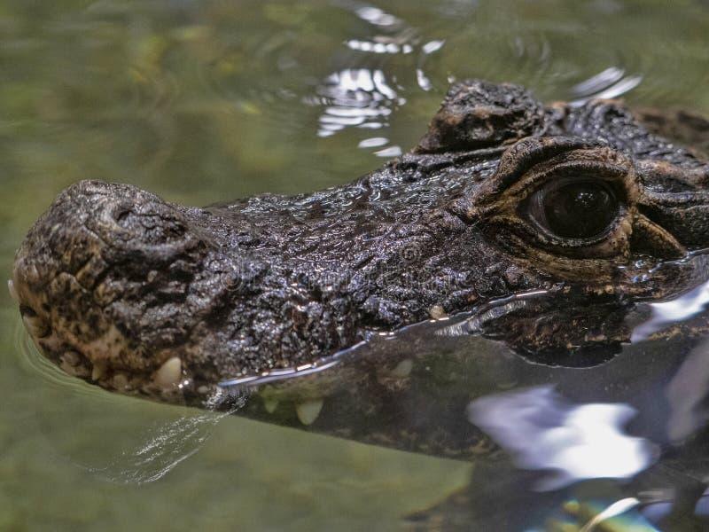 Tetraspis nains d'Osteolaemus de crocodile, un des petits crocodiles photographie stock libre de droits