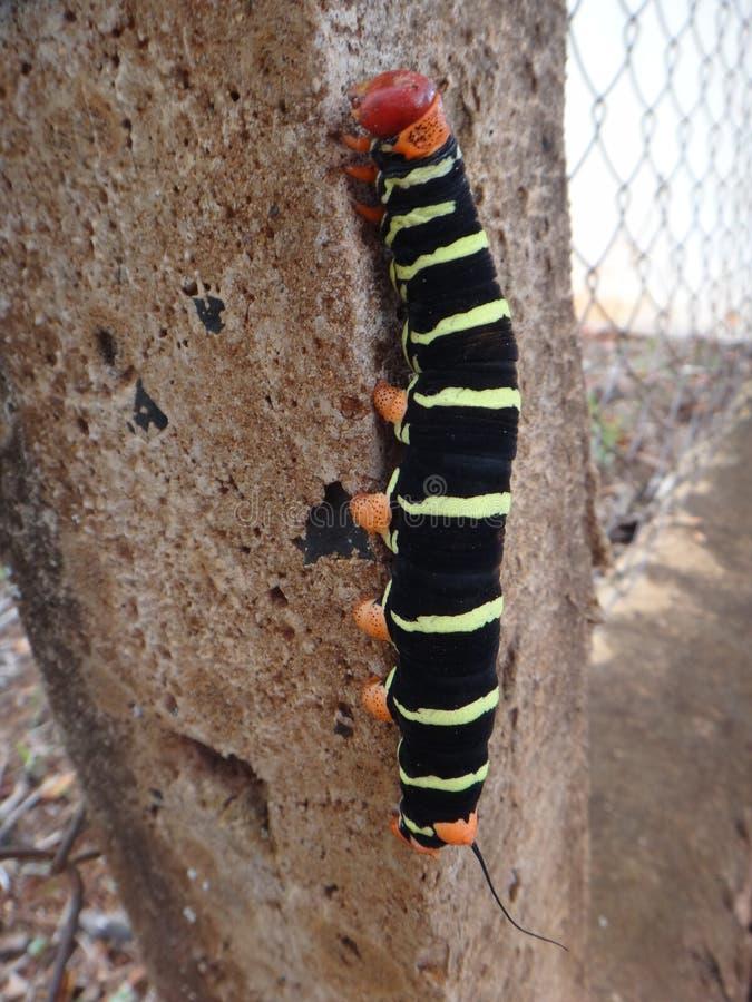 Tetrio-Sphinx, Frangipani hornworm oder Plumeriagleiskettenfahrzeug lizenzfreie stockfotos