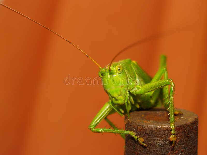 Download Tettigonia Viridissima foto de archivo. Imagen de insecto - 1018724