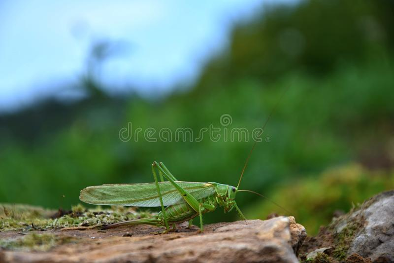 Tettigonia viridissima. Grasshopper green on a stone. stock photography
