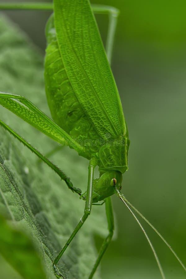 Tettigoniidae/Katydids of struikveenmollen royalty-vrije stock foto's