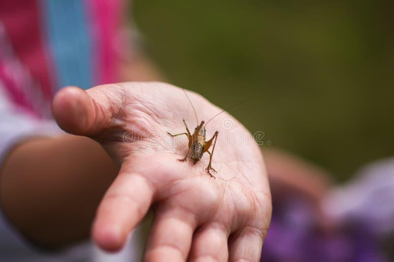 Tettigonioidea或蚂蚱绿色昆虫在儿童探索的夏天自然的手上 库存照片