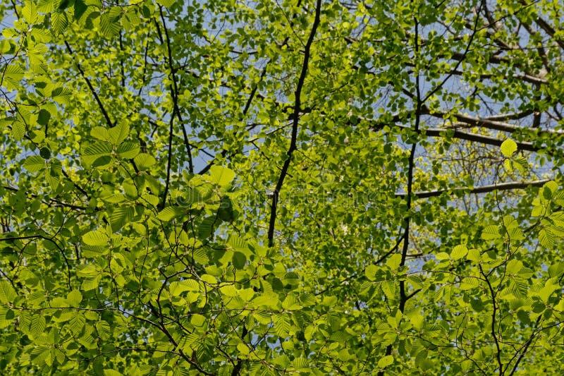 Tettoia del faggio con le foglie verdi fresche della molla immagine stock
