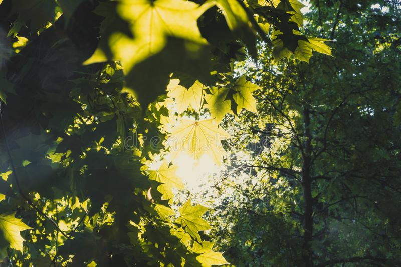 Tettoia delle foglie di acero del throuh di Sun in una foresta immagini stock libere da diritti