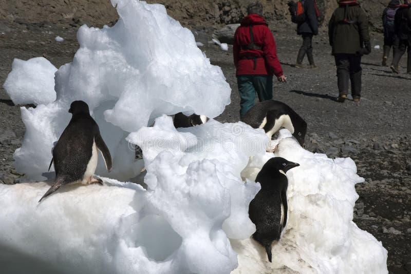 Teufel-Insel die Antarktis, Adelie-Pinguin auf Eisblöcken mit touristischem n-Hintergrund lizenzfreies stockbild