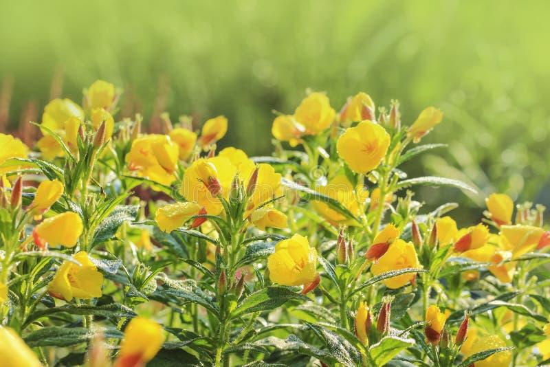 Teunisbloem (Oenothera) in de tuin royalty-vrije stock afbeelding