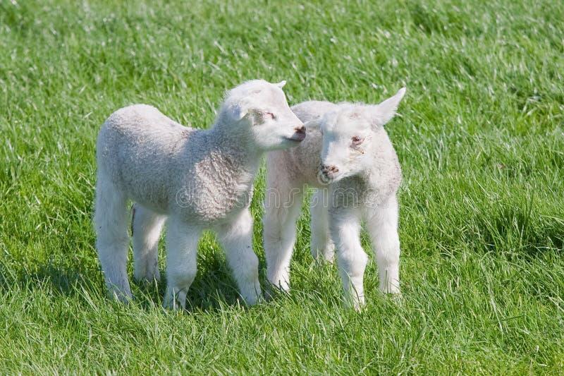 Tevreden Jonge lammeren in het weiland bij de lente royalty-vrije stock fotografie